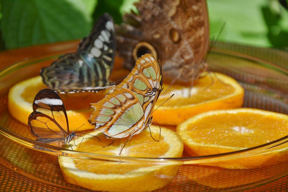 Schmetterlinge Futterung Orange Kostenloses Foto Auf Pixabay