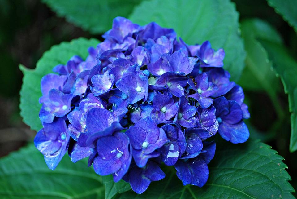 free photo blue hydrangea flower hydrangea free image. Black Bedroom Furniture Sets. Home Design Ideas