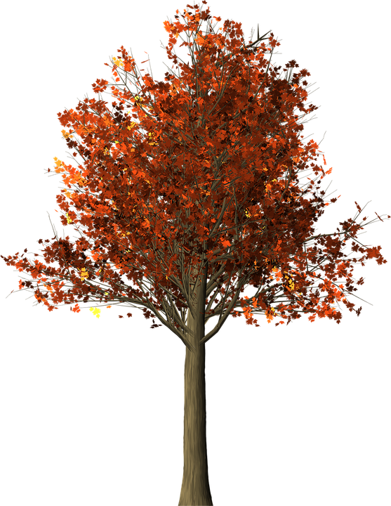 tree maple fall  u00b7 free image on pixabay leaf vein clipart weather vane clip art
