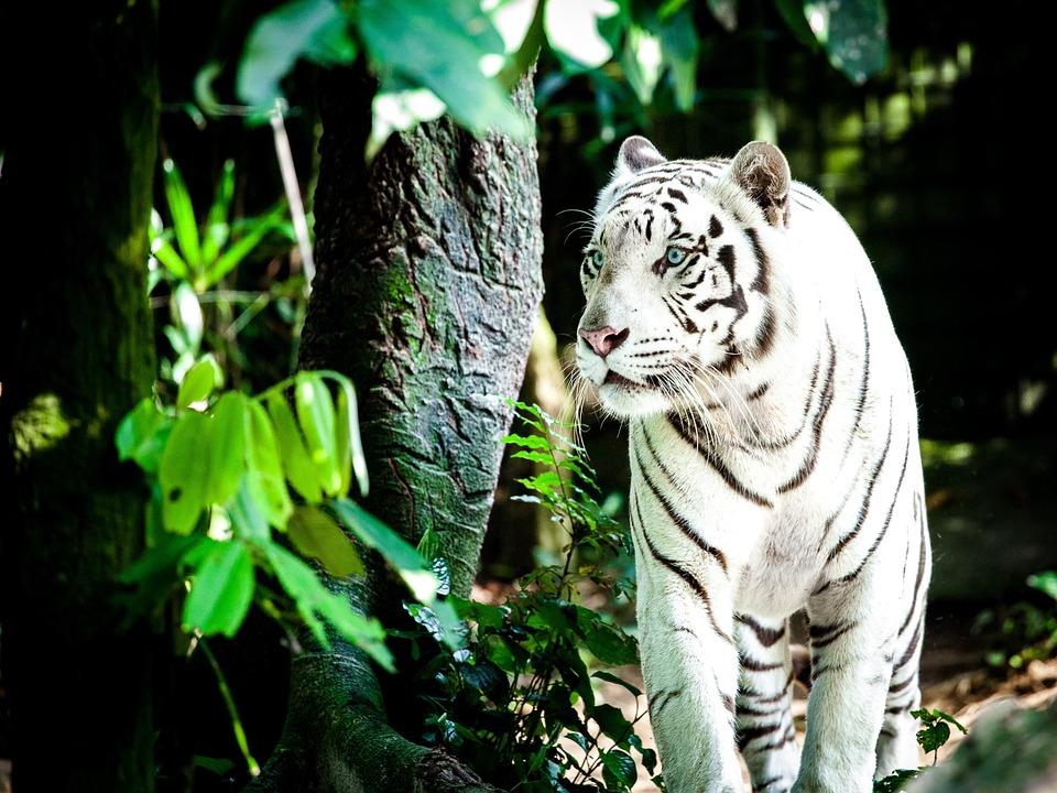Tiger, White Tiger, Wildcat, White Königstieger