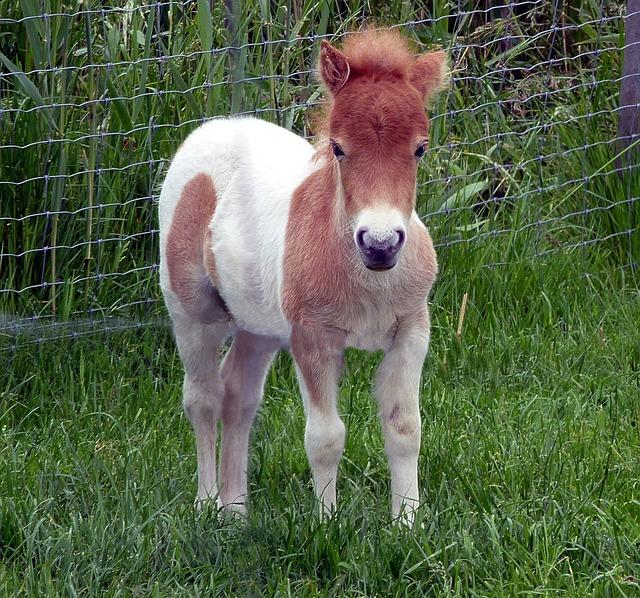 Shetland Pony Foal Mini Dwarf 183 Free Photo On Pixabay