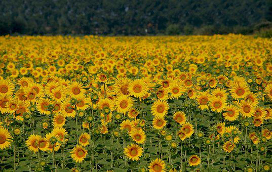 Sunflowers, Field, Italy, Yellow, Flower