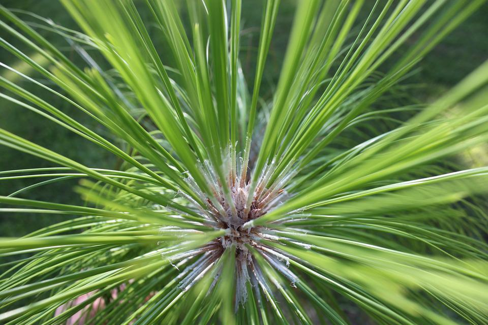 Image result for longleaf pine tree