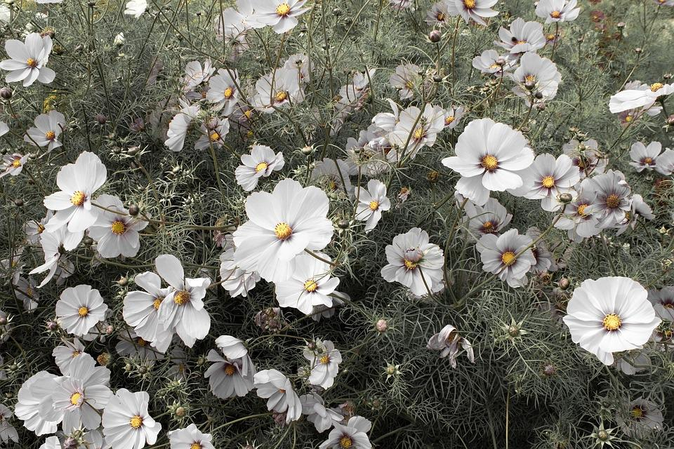 White cosmos flowers free photo on pixabay white cosmos cosmos flowers cosmos summer garden mightylinksfo