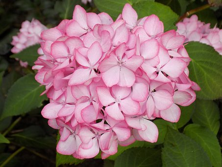 hydrangea, plants  free images on pixabay, Beautiful flower