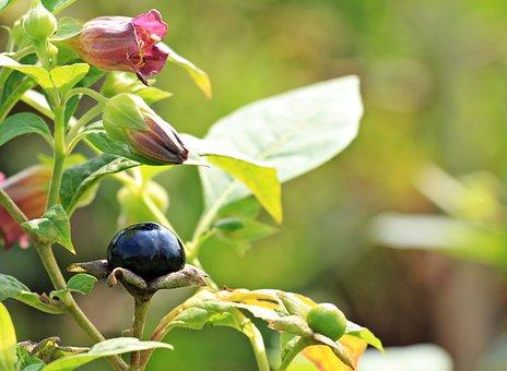 Belladonna, Atropa Belladonna, Plant