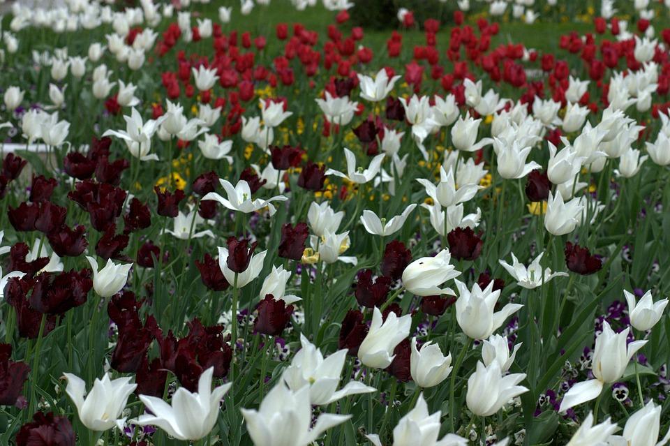 Laleler çiçekler Malzemeleri Pixabayde ücretsiz Fotoğraf