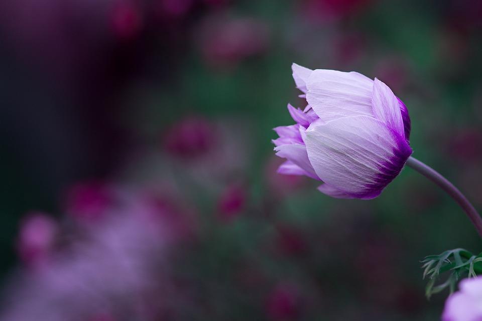 Anemone, Blüte, Weiß-Violett, Zweifarbig