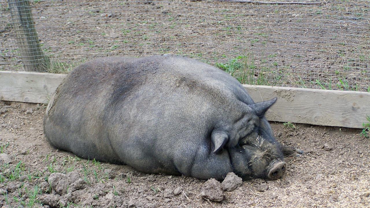 Фото толстых свиней