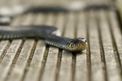 Snake Grass Snake Reptile Nature Water Sna