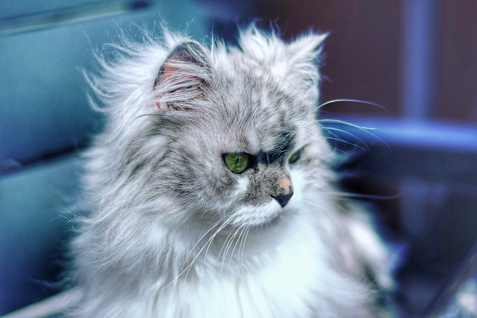 Velká nadýchaná kočička