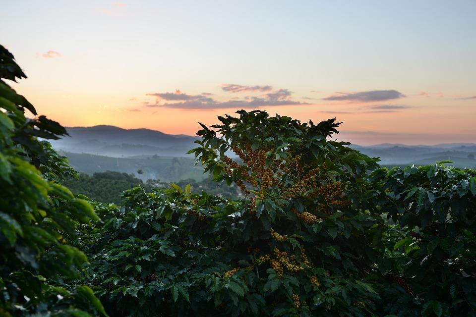 Coffee, Wood, Yellow, Bean, Growing, Plantation, Sunset