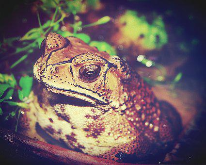 Toad, Marinus, Giant, Neotropical, Bufo