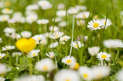 Daisies, Spring, May, Picnic, Poznan