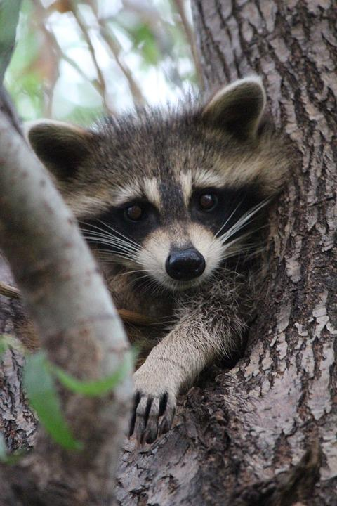 cute baby raccoon wildlife animal inquisitive pixabay