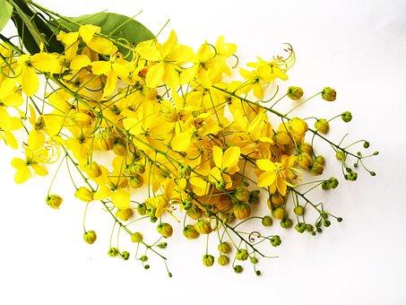 Cassia, Shower, Golden, Tree, White