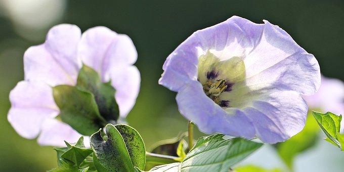 Poison Berry, Blue Lantern Flower