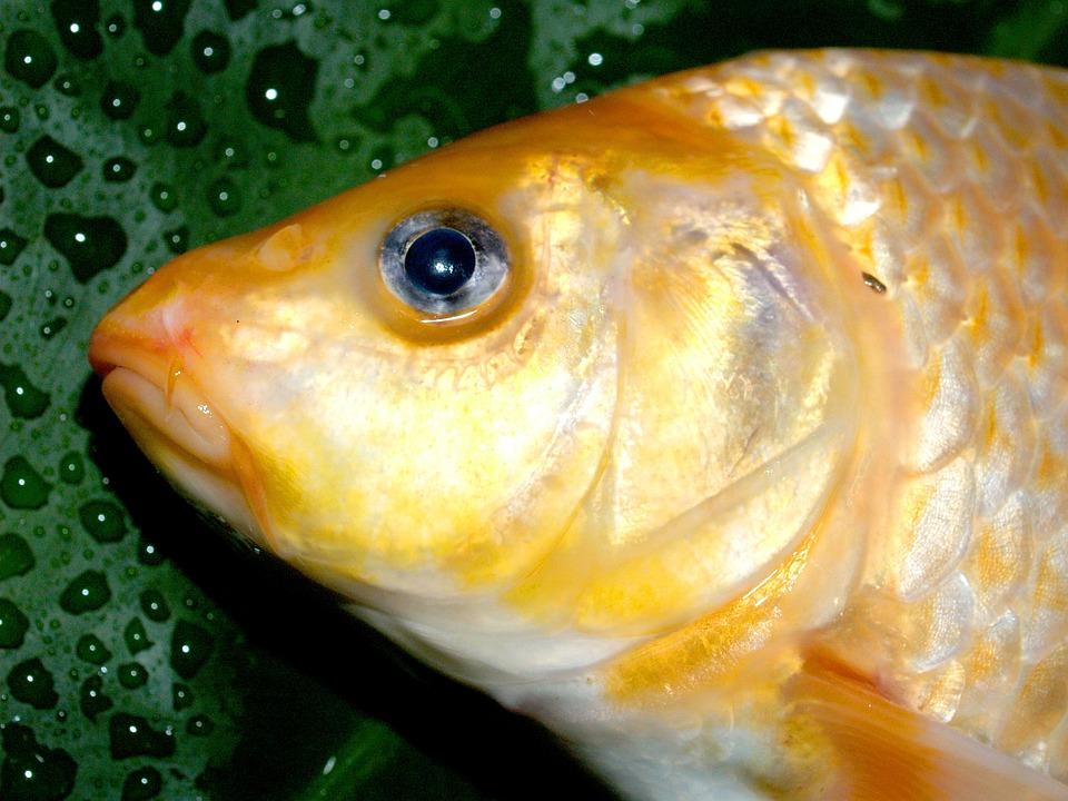 魚 コイ 食事 · Pixabayの無料写...