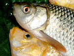 fish, carp, meal