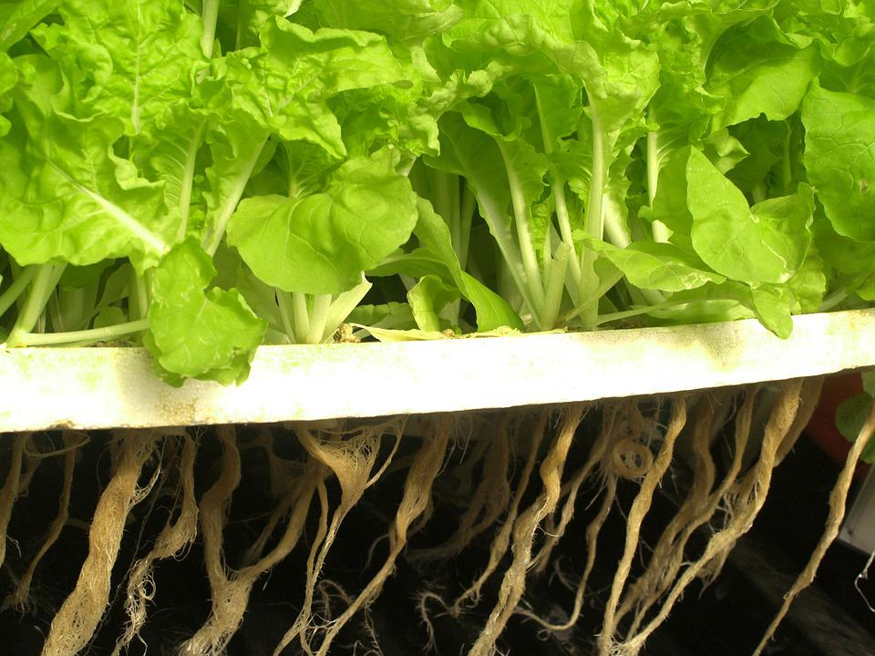 Hydroponically grown plants with roots exposed to air and nutrient filled water