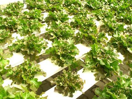 Farm, Market, Hydroponic, Produce