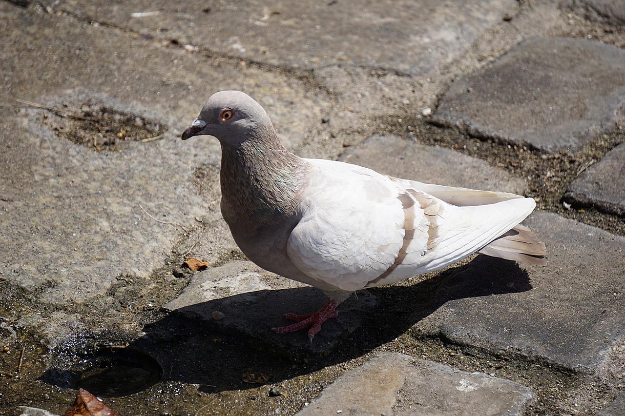 Картинки голубей, днем фармацевта провизора