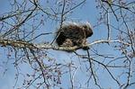 canada porcupine