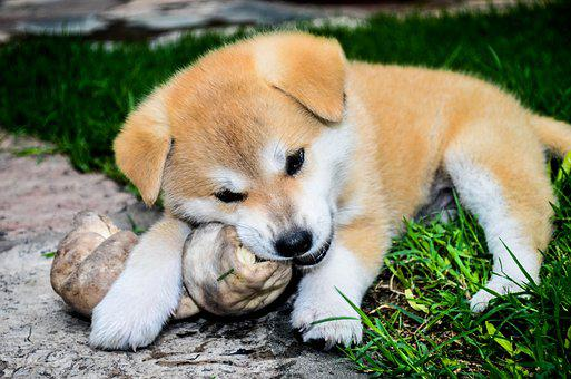 Akita Inu - Top 7 Questions Answered