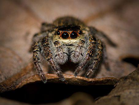 Spider, Jumping Spider, Small Spider