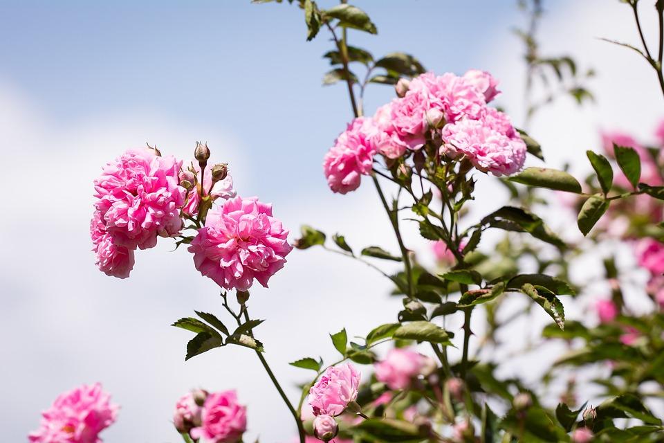 photo gratuite roses fleurs rose roses roses image gratuite sur pixabay 1555220. Black Bedroom Furniture Sets. Home Design Ideas