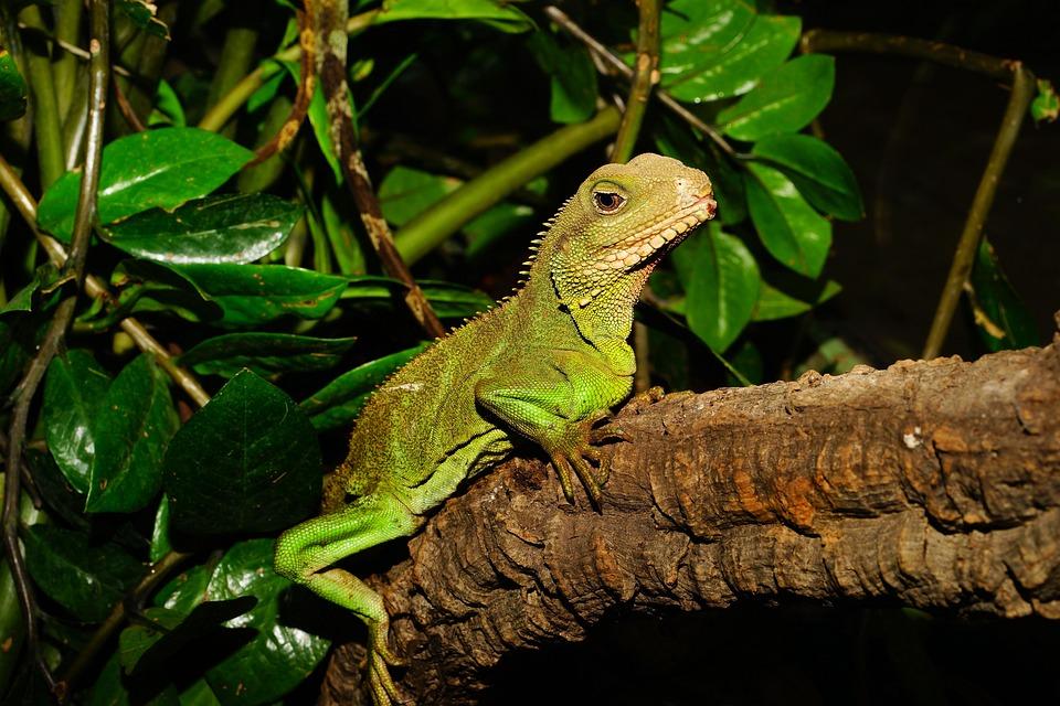 Lizard, Urtier, Reptielen, Droge, Terrarium, Schaal