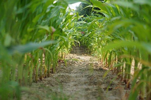 Cornfield, Corn, Field, Landscape