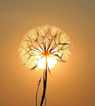 Dandelion, Sun, Plants, Flower, Dry