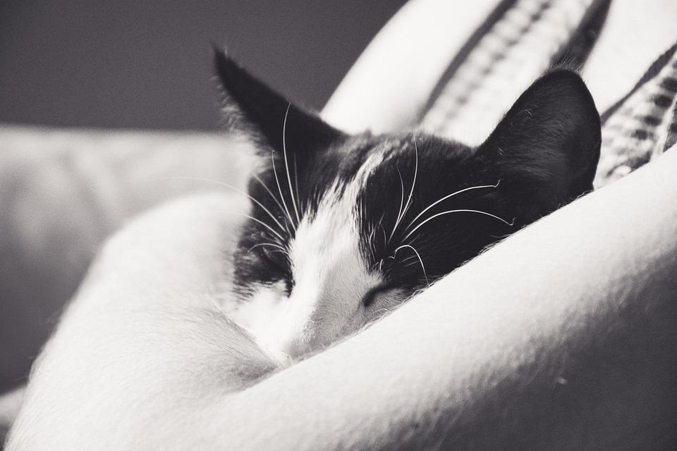 무료 사진: 고양이, 새끼 고양이, 톰캣, 검은 색과 흰색 고양이 ...