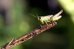 grasshopper, green, insect