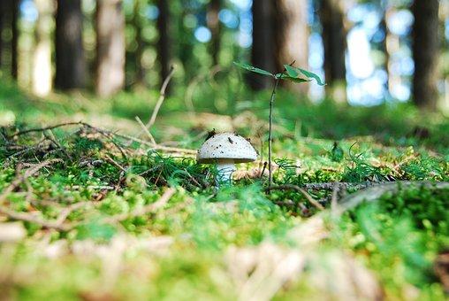 Pieczarka, rosnąca w lesie.