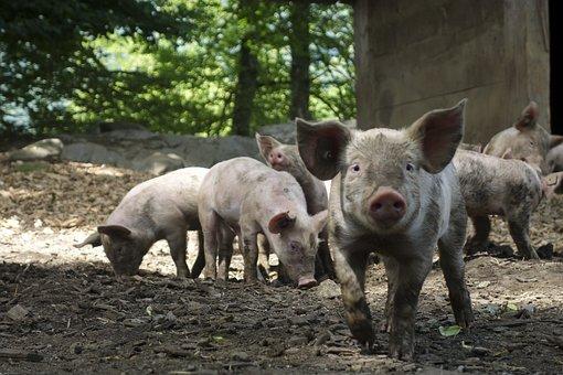 Вьетнам увеличит производство свинины после вспышек АЧС