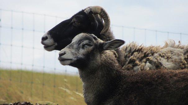 Goats, Mutton, Sheep, Blocks, Pasture