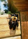 carpenter bee, bee, xylocopa
