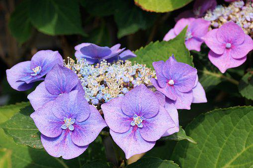 hortensias flor la naturaleza jardn