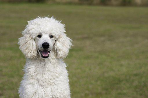 Poodle Puppies For Sale in Illinois