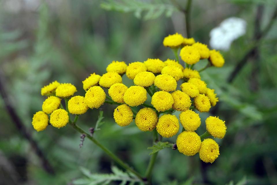 Tansy yellow flowers herb free photo on pixabay tansy yellow flowers herb plant weed nature mint mightylinksfo