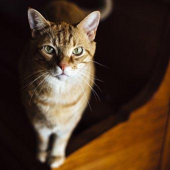 Katze, Tier, Haustier, Ingwer Pelz