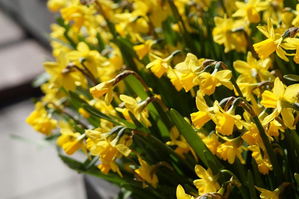 Spring Flowers Daffodils Free Photo On Pixabay