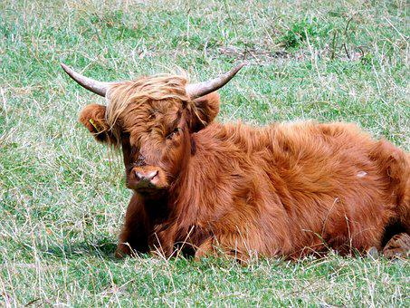 Beef, Pasture, Cow, Cattle, Graze