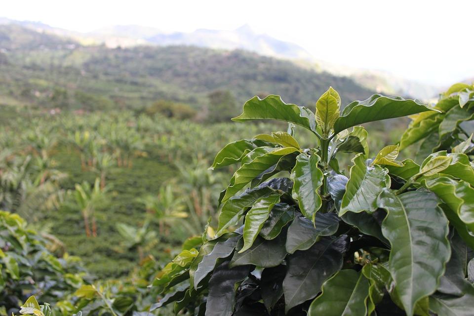 Café, Colombia, Verde, Cafe, Granos Café, Cosechar