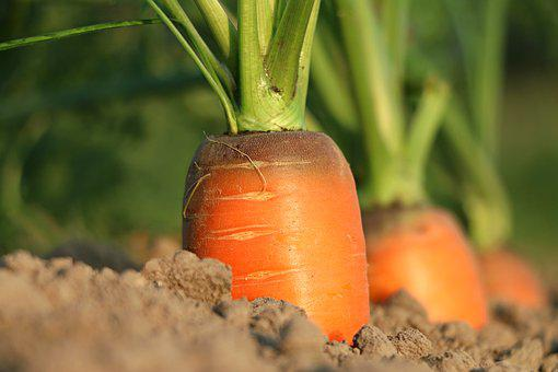 Carrot, Growth, Vegetables, Agriculture