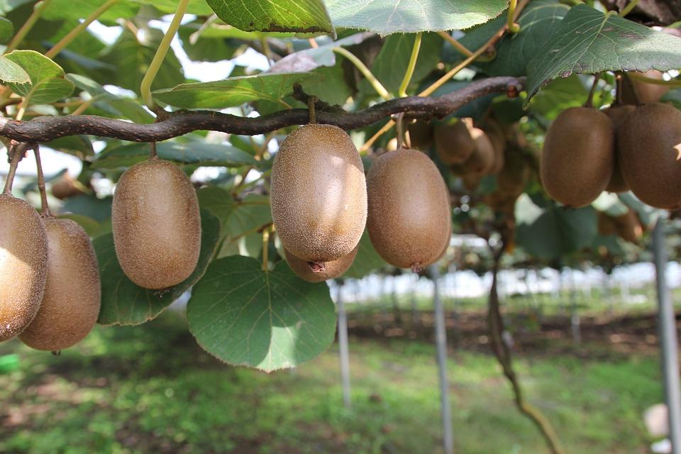 Beliebt Bevorzugt Kiwi Obst Gold-Kiwi - Kostenloses Foto auf Pixabay @BH_93