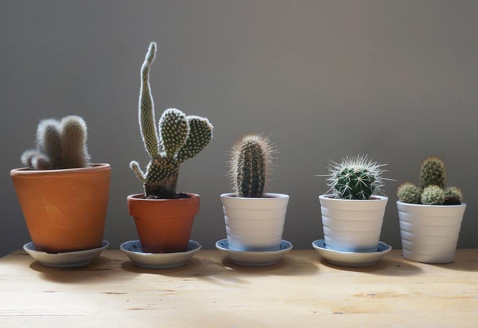 Cactus, Plantas, Casa, Mesa, Jardín, Pequeños