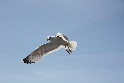 Seagull, Blue Sky, Freedom, Air, Flying